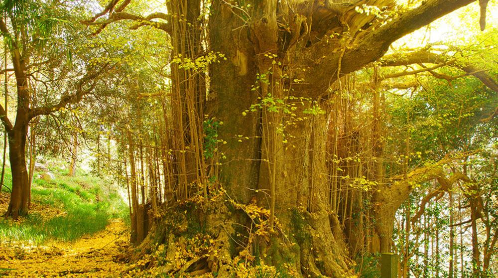 Ancient ginkgo biloba tree