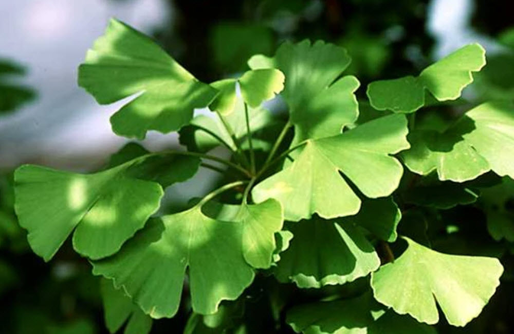 ginkgo biloba tree leaf